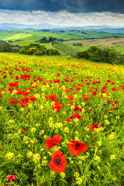 ITA13157AW Field of Wildflowers Above Belvedere, Val d' Orcia, Tuscany, Italy