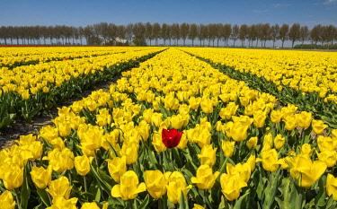 NLD0860AW Single Red Tulip in Field of Yellow Tulips, Abbenes,  Holland, Netherlands