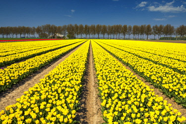 NLD0861AW Field of Yellow Tulips, Abbenes,  Holland, Netherlands
