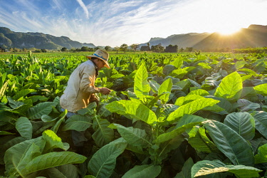 HMS3048742 Cuba, Pinar del Rio province, Vinales, Vinales national park, Vinales valley, a UNESCO World Heritage site, dotted with mogotes or limestone outcrops, tobacco harvesting