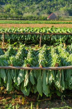 HMS3048749 Cuba, Pinar del Rio province, Vinales, Vinales national park, Vinales valley, a UNESCO World Heritage site, tobacco harvesting
