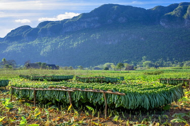 HMS3048750 Cuba, Pinar del Rio province, Vinales, Vinales national park, Vinales valley, a UNESCO World Heritage site, dotted with mogotes or limestone outcrops, tobacco harvesting