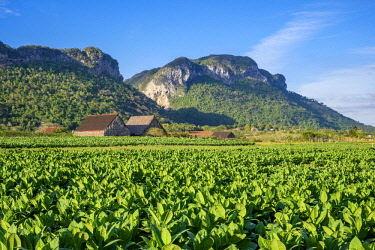 HMS3048751 Cuba, Pinar del Rio province, Vinales, Vinales national park, Vinales valley, a UNESCO World Heritage site, dotted with mogotes or limestone outcrops, tobacco fields and tobacco dryers