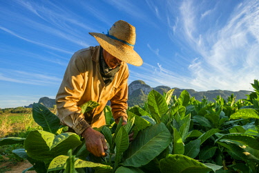 HMS3048752 Cuba, Pinar del Rio province, Vinales, Vinales national park, Vinales valley, a UNESCO World Heritage site, dotted with mogotes or limestone outcrops, tobacco harvesting