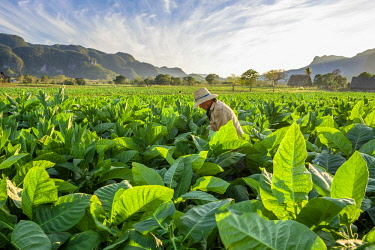 HMS3048753 Cuba, Pinar del Rio province, Vinales, Vinales national park, Vinales valley, a UNESCO World Heritage site, dotted with mogotes or limestone outcrops, tobacco harvesting