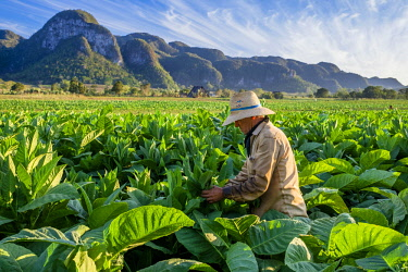 HMS3048754 Cuba, Pinar del Rio province, Vinales, Vinales national park, Vinales valley, a UNESCO World Heritage site, dotted with mogotes or limestone outcrops, tobacco harvesting