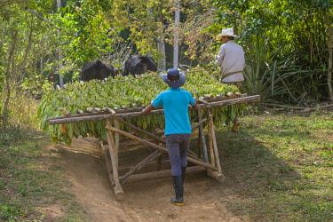 HMS3048756 Cuba, Pinar del Rio province, Vinales, Vinales national park, Vinales valley, a UNESCO World Heritage site, tobacco harvesting