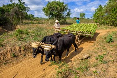 HMS3048757 Cuba, Pinar del Rio province, Vinales, Vinales national park, Vinales valley, a UNESCO World Heritage site, tobacco harvesting