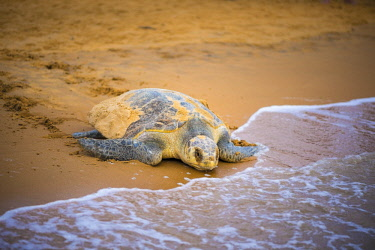 HMS2608707 France, Guiana, Cayenne, Remire-Montjoly beach, return to the Atlantic Ocean of a female olive Ridley turtle (Lepidochelys olivacea) after nesting