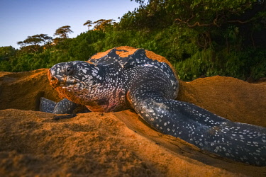 HMS2608764 France, Guiana, Cayenne, Gosselin beach, female leatherback turtle (Dermochelys coriacea) nesting in the morning