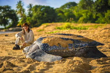 HMS2608771 France, Guiana, Cayenne, Gosselin beach, return to the Atlantic Ocean of a female leatherback turtle (Dermochelys coriacea) after nesting in the early morning