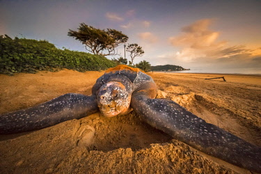 HMS2608793 France, Guiana, Cayenne, Rémire-Montjoly beach, female leatherback turtle (Dermochelys coriacea) nesting in the morning