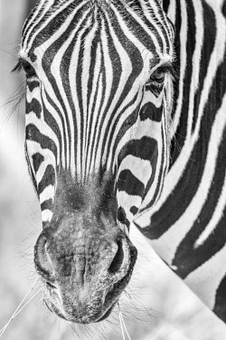 NAM6544AW Africa, Namibia, Etosha National park. Zebra portrait in black and white
