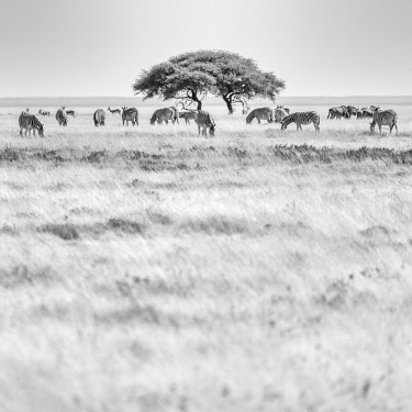 NAM6545AW Africa, Namibia, Etosha National park. Zebra herd with acacia tree in front of the Etosha pan