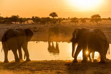 NAM6557AW Africa, Namibia, Etosha National park. Elephants at the waterhole of Okaukuejo.