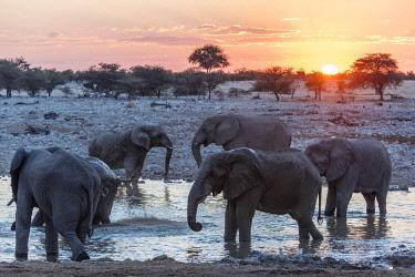 NAM6560AW Africa, Namibia, Etosha National park. Elephants at the waterhole of Okaukuejo.