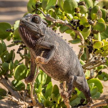 NAM6576AW Africa, Namibia, Swakopmund. Namaqua chameleon in a dollar bush