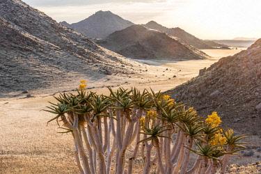 NAM6592AW Africa, Namibia, Namib Rand area. Farm Kanaan. The Tiras mountains with a flowering Quiver Tree