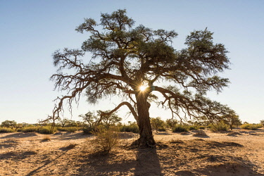 NAM6610AW Africa, Namibia, near Keetmanshop. A camelthorn tree at sunset