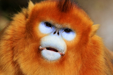 HMS2503490 China, Shaanxi province, Qinling Mountains, Golden Snub-nosed Monkey (Rhinopithecus roxellana), adult male