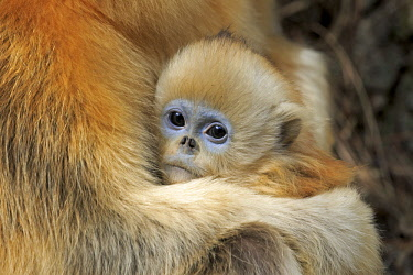 HMS2503491 China, Shaanxi province, Qinling Mountains, Golden Snub-nosed Monkey (Rhinopithecus roxellana), mother and baby
