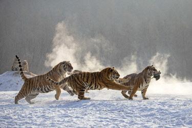 HMS2611817 China, Heilongjiang province, Harbin, Tiger Park, Siberian Tiger (Panthera tigris altaica)