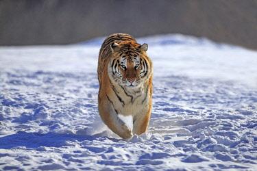 HMS2611832 China, Heilongjiang province, Harbin, Tiger Park, Siberian Tiger (Panthera tigris altaica)