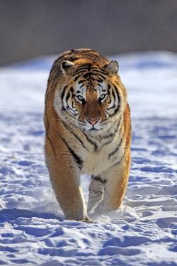 HMS2611833 China, Heilongjiang province, Harbin, Tiger Park, Siberian Tiger (Panthera tigris altaica)