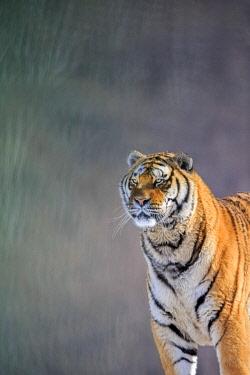 HMS2611837 China, Heilongjiang province, Harbin, Tiger Park, Siberian Tiger (Panthera tigris altaica)
