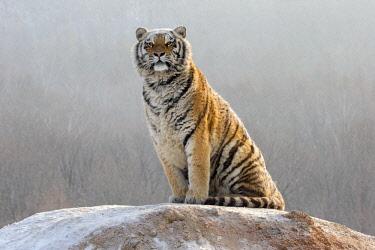 HMS2611881 China, Heilongjiang province, Harbin, Tiger Park, Siberian Tiger (Panthera tigris altaica)