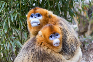 HMS2691572 China, Shaanxi province, Qinling Mountains, Golden Snub-nosed Monkey (Rhinopithecus roxellana)