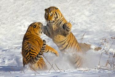 HMS2691698 China, Harbin, Siberian Tiger Park, Siberian Tiger (Panthera tgris altaica)
