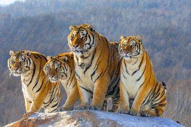 HMS2691713 China, Harbin, Siberian Tiger Park, Siberian Tiger (Panthera tgris altaica)