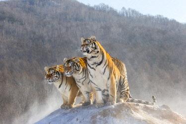 HMS2691714 China, Harbin, Siberian Tiger Park, Siberian Tiger (Panthera tgris altaica)