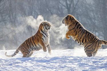 HMS2691725 China, Harbin, Siberian Tiger Park, Siberian Tiger (Panthera tgris altaica)