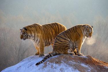 HMS2691764 China, Harbin, Siberian Tiger Park, Siberian Tiger (Panthera tgris altaica)