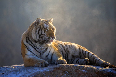 HMS2691765 China, Harbin, Siberian Tiger Park, Siberian Tiger (Panthera tgris altaica)