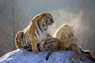 HMS2691767 China, Harbin, Siberian Tiger Park, Siberian Tiger (Panthera tgris altaica)