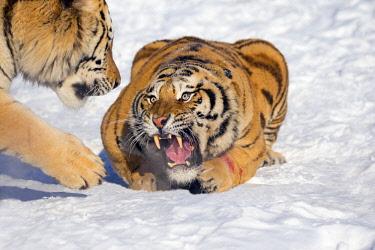 HMS2691774 China, Harbin, Siberian Tiger Park, Siberian Tiger (Panthera tgris altaica)