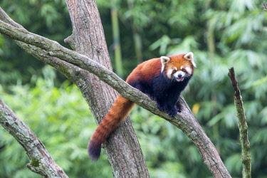 HMS2617934 China, Sichuan, Research Base of Giant Panda Breeding or Chengdu Panda Base, Red Panda (Ailurus fulgens), captive, in a tree