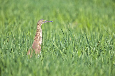 HMS2187888 India, Gujarat state, Little Rann of Kutch, Wild Ass Sanctuary, Indian pond heron (Ardeola grayii)