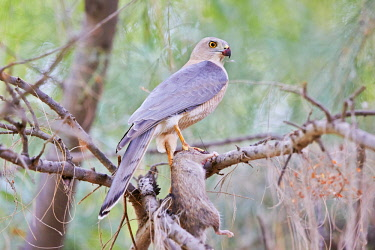 HMS2187914 India, Gujarat state, Little Rann of Kutch, Wild Ass Sanctuary, Shikra (Accipiter badius) eating a small rodern (mouse or rat)