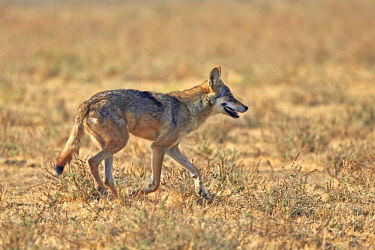 HMS2187923 India, Gujarat state, Little Rann of Kutch, Wild Ass Sanctuary, Indian wolf (Canis lupus pallipes)called now (Canis indica), adult female
