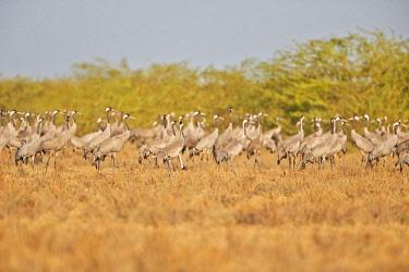 HMS2187964 India, Gujarat state, Little Rann of Kutch, Wild Ass Sanctuary, Common crane (Grus grus), group ion the ground