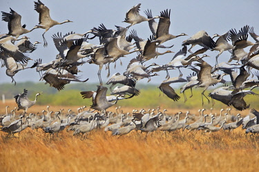HMS2187966 India, Gujarat state, Blackbuck national park, Common crane (Grus grus), group in flight and a group on the ground