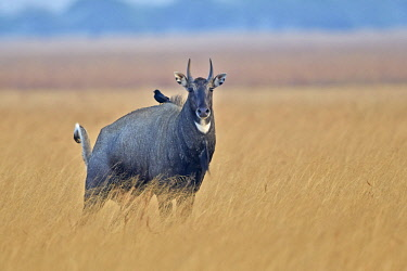HMS2187978 India, Gujarat state, Blackbuck national park, Nilgai or Indian Bull or Blue Antelope (Boselaphus tragocamelus), male and a drongo on the back eating parasites and insects