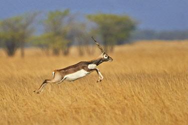 HMS2187990 India, Gujarat state, Blackbuck national park, Blackbuck (Antilope cervicapra), male running and jumping