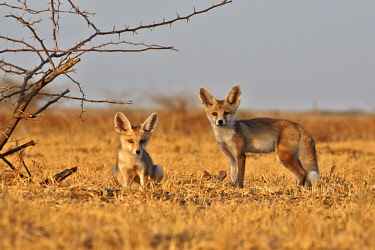 HMS2233419 India, Gujarat state, Little Rann of Kutch, Wild Ass Sanctuary, Desert fox or white-footed fox (Vulpes vulpes pusilla), youngs at the den