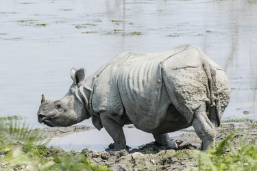 HMS2309949 India, Assam, Kaziranga national park, listed as World Heritage by UNESCO, indian rhinoceros (Rhinoceros unicornis), going to bath