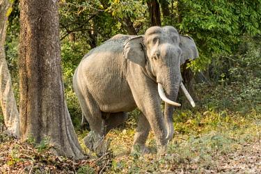 HMS2309950 India, Assam, Kaziranga national park, listed as World Heritage by UNESCO, asian elephant (Elephas maximus), male
